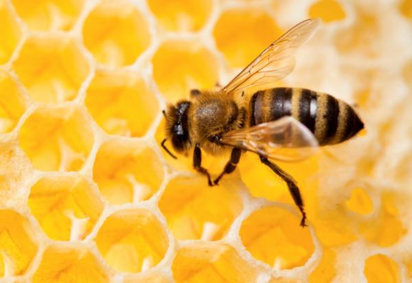 méhek visszér ellen)