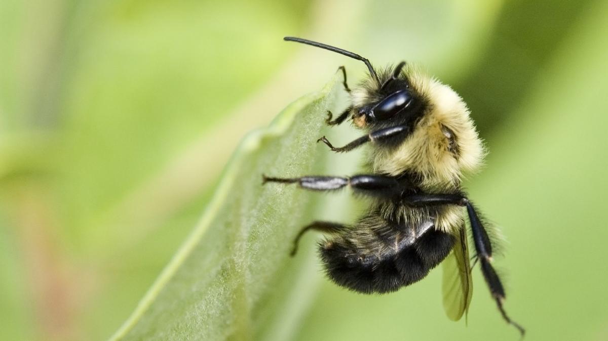 méhek visszér ellen