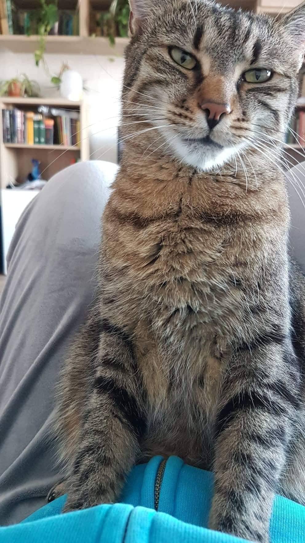 visszér egy macskában