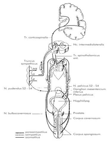 ureaplasma és visszér)