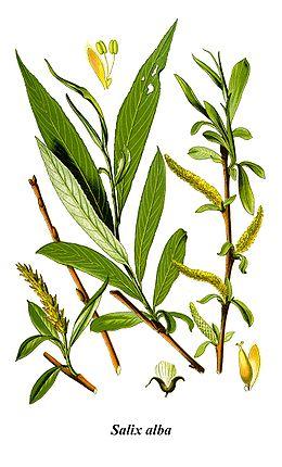 Fehér fűz – Wikipédia