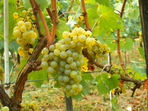 visszér és szőlő)