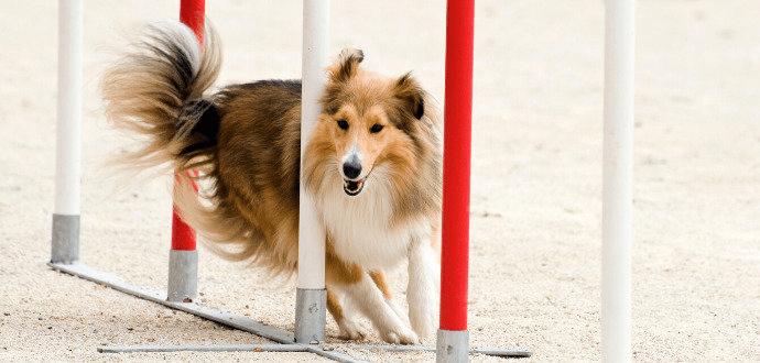 visszér egy kutya fotón