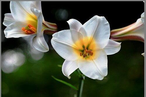 fehér liliom a visszér ellen